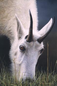 wildlife artist david n kitler originals rocky
